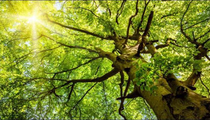 તમને હેરાન કરી દેશે આ સમાચાર, અંજીરના વૃક્ષથી હત્યાનો ભેદ ઉકેલાયો