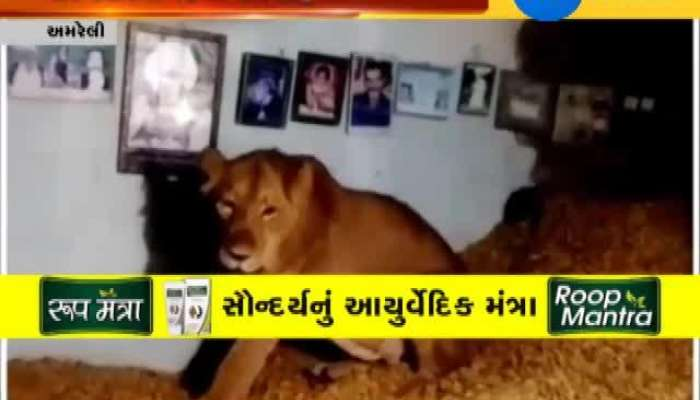 Visuals Lion caught sitting on huge stock of groundnut, rescued
