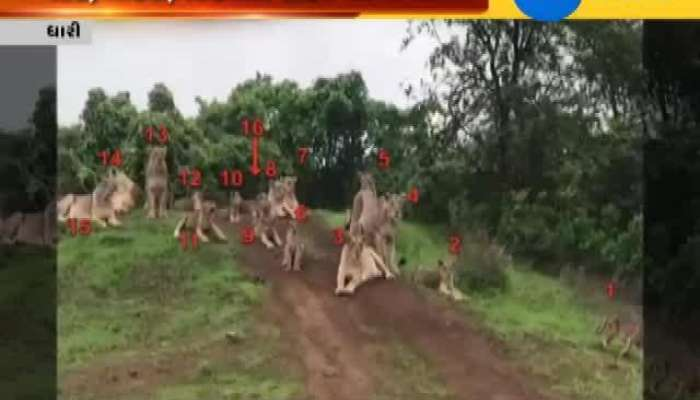 19 Lions with toghether in Dhari