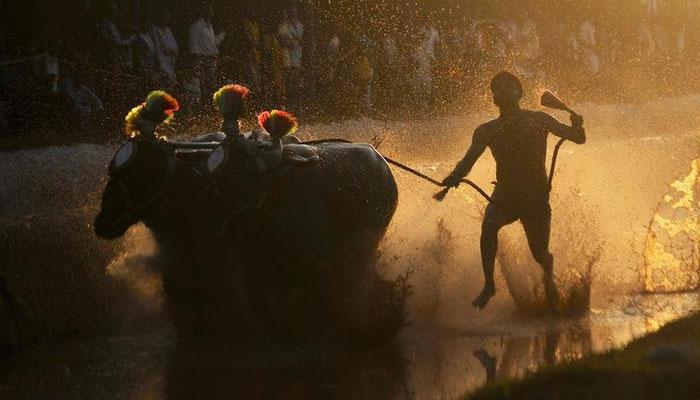 ಕಂಬಳಕ್ಕೆ ತಡೆ ನೀಡುವಂತೆ  ಪೇಟಾ ಸಲ್ಲಿಸಿದ್ದ ಅರ್ಜಿ ಇತ್ಯರ್ಥ