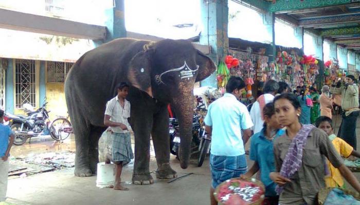 திருச்சி சமயபுரம் கோவில் யானை தாக்கி; பாகன் பரிதாப பலி!